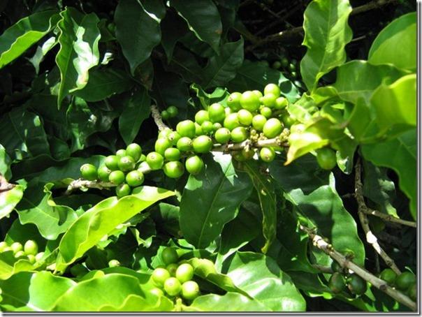 ブラジルスペシャルティコーヒー